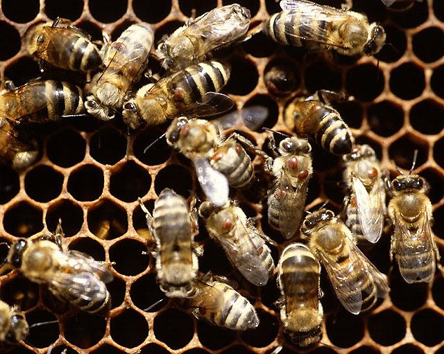 Выявлены цисты возбудителя нозематоза и клещи-возбудители варроатоза пчел