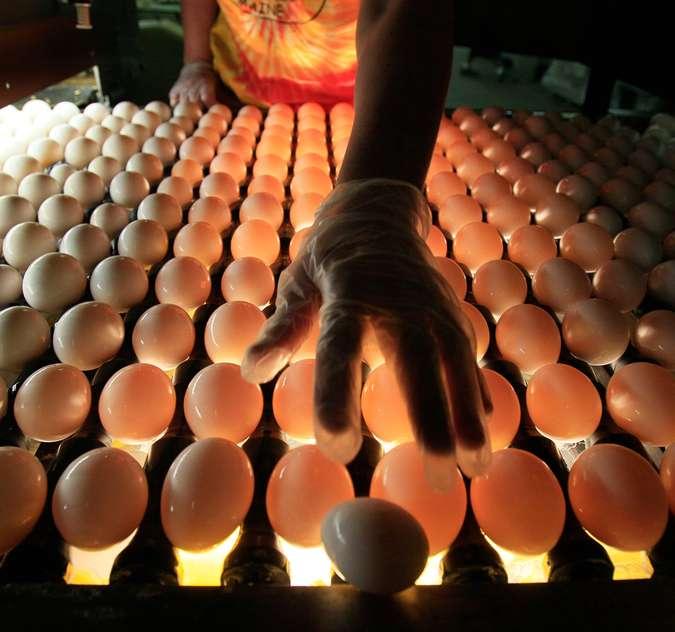Технология подготовки яиц к инкубации