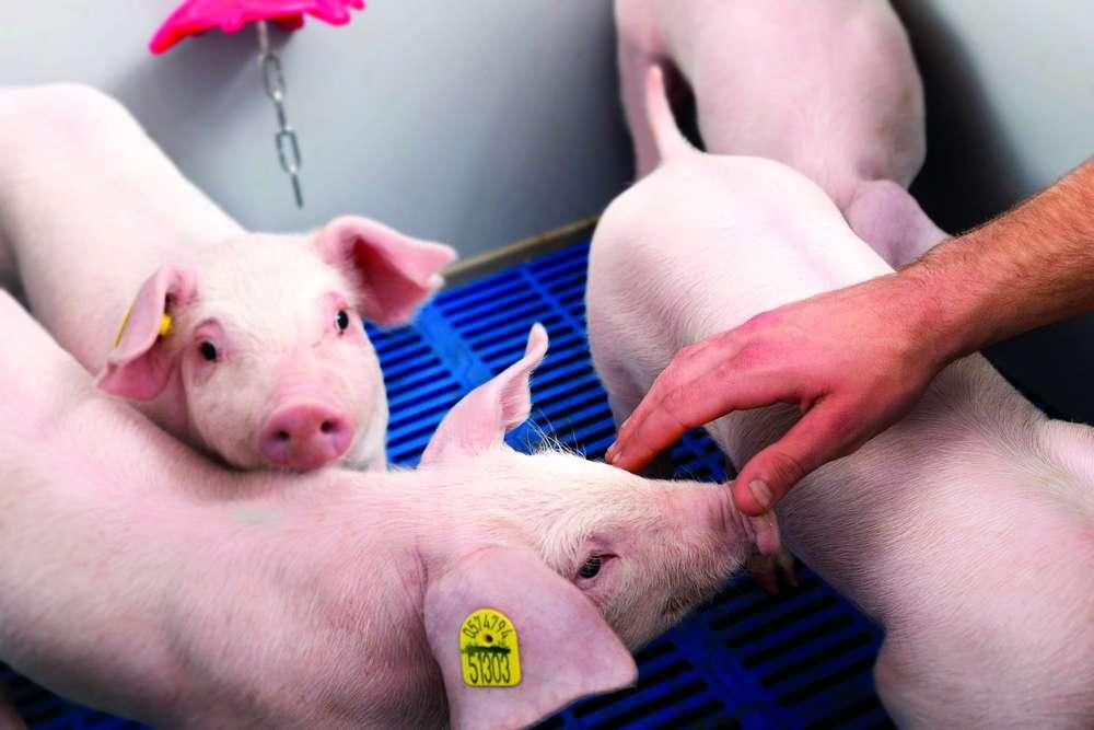 Союз свиноводов России: отчёты, планы и перспективы