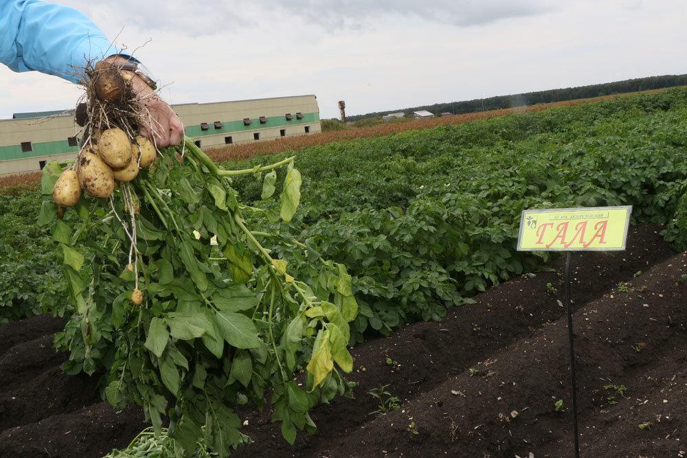 Уральский проект развития картофельного семеноводства стал федеральным