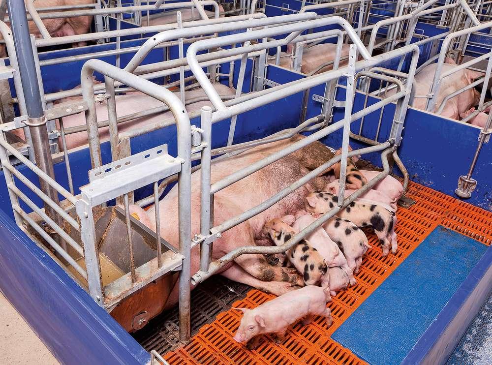 Условия для содержания подсосных свиноматок