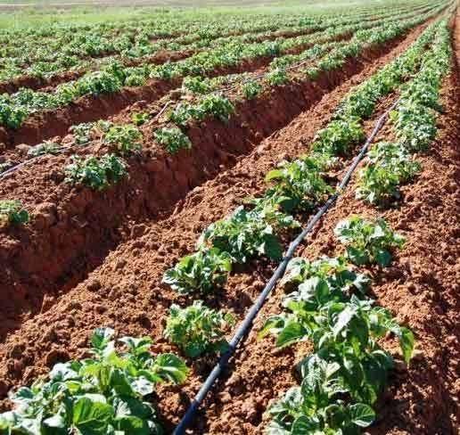 Интегрированная защита  почвы при выращивании картофеля