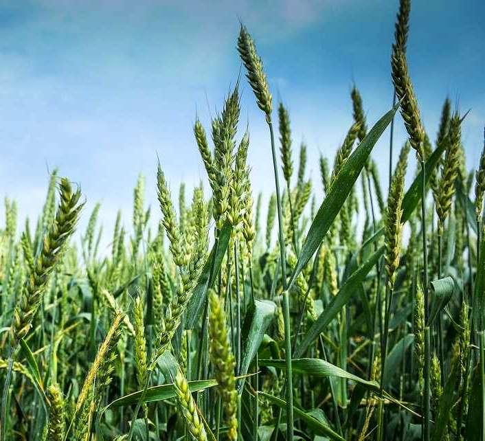 Вредители в яровой пшенице
