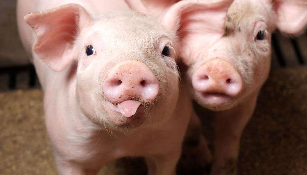 «Хочу добавки» — современная стратегия кормления свиней