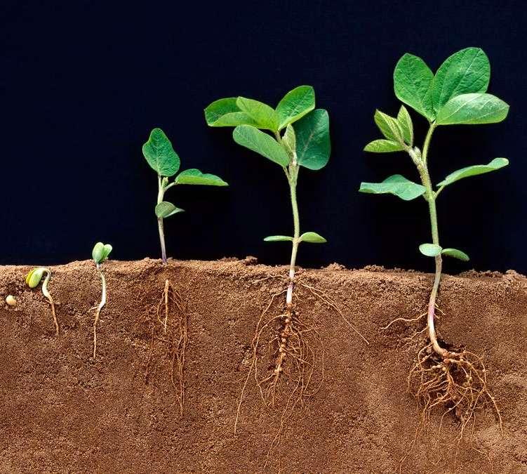 Ауксины в выращивании сельскохозяйственных культур