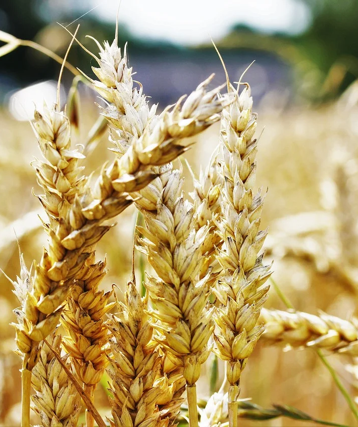 Мировой рынок пшеницы обвалился, экспортеры снизили цены в портах